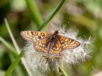 167-marsh-fritillary