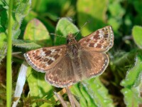 DINGY SKIPPER _M2A9527