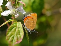 black-hairstreak-2-56122886