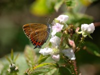 black-hairstreak-55642882