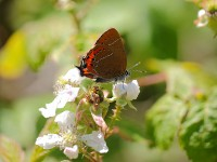 black-hairstreak-55772883