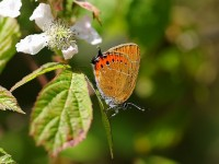 black-hairstreak-56072884