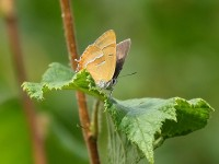 brown-hairstreak-58623081