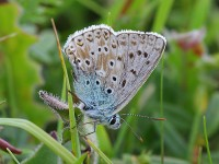 chalkhill-blue-male-18723087