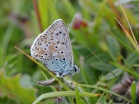 chalkhill-blue-male-18753088