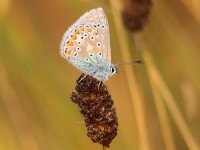 common-blue-27433165