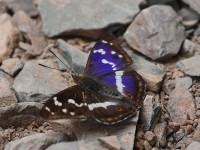 purple-emperor-57382979