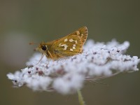 silver-spotted-skipper-19293067-19-30-57