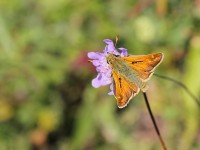 silver-spotted-skipper-22213075