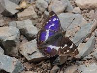purple-emperor-10312952