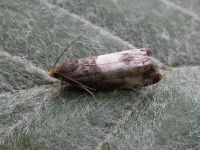 49.292 BF1174-Notocelia-cynosbatella