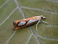 63.099 BF1313-catoptria-pinella