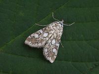 63.114 BF1345-elophila-nymphaeata
