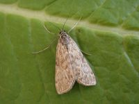 63.114 BF1345-elophila-nymphaeata2