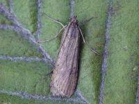63.052 BF1398-nomophila-noctuella