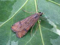 63.052 BF1398-nomophila-noctuella2
