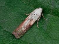 62.001 BF1428 - Bee Moth_J4X4200