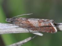 49.313 BF1277 - Dichrorampha acuminatana