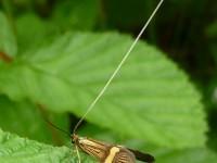 7.001 BF148 Nemophora degeerella148-(1)-2