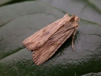 Pale Pinion Isles of Scilly06 168
