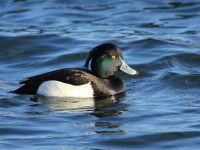 10-tufted-duck-