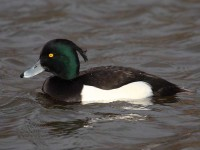 12a-tufted-duck