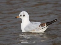13-black-headed-gull-67540971