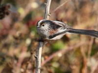 24-long-tailed-tit-