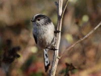 25-long-tailed-tit-