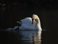 29-mute-swan-