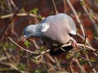 31-wood-pigeon-