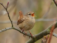 33-winter-wren-