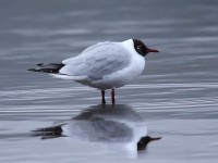 34-black-headed-gull-adult-