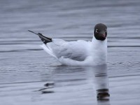35-black-headed-gull-adult-