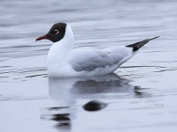 36-black-headed-gull-adult-