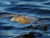 4-1stw-glaucous-gull
