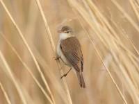 42-reed-warbler-
