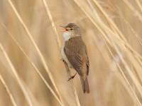 43v-reed-warbler-