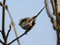 44-long-tailed-tit-