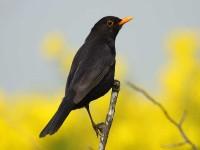46-blackbird-
