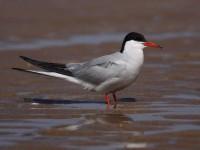 49-common-tern-28681794