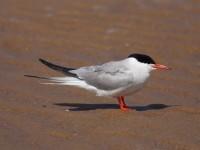 50-common-tern-