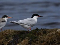 51-roseate-tern-