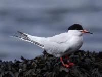 52-adult-roseate-tern