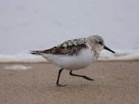 58-sanderling-
