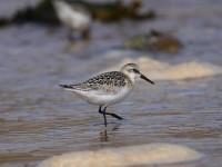 59-juv-sanderling-
