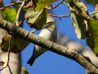 62-yellow-browed-warbler-