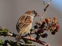 65house-sparrow-