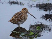 67a-common-snipe-