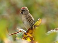 68-common-redpoll-